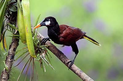 Central American Wildlife Photograph - Montezuma Oropendola by Nicolas Reusens