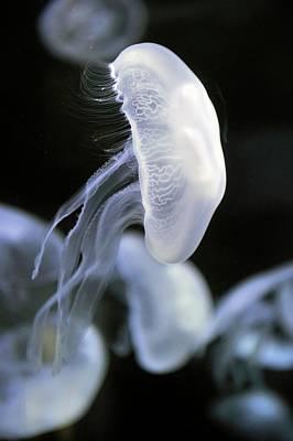 Medusa Photograph - Moon Jellyfish by Bildagentur-online/mcphoto-schulz