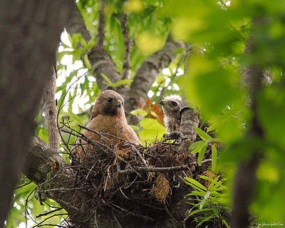 Red Photograph - Mother And Baby Red Shouldered Hawk by Jai Johnson