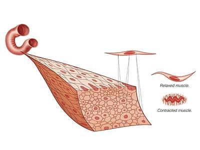 Muscular Tissue Print by Asklepios Medical Atlas