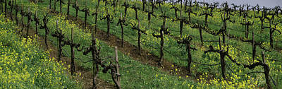 Vineyard In Napa Photograph - Mustard And Vine Crop In The Vineyard by Panoramic Images