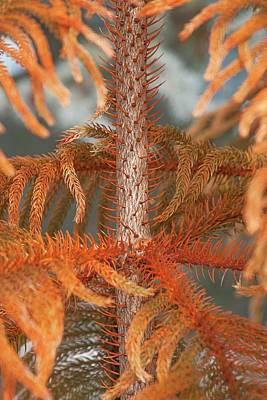 Pine Needles Photograph - Norfolk Island Pine (a. Heterophylla) by Dr. Nick Kurzenko