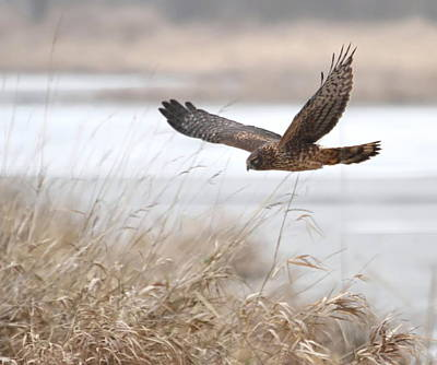 Northern Harrier Print by Angie Vogel
