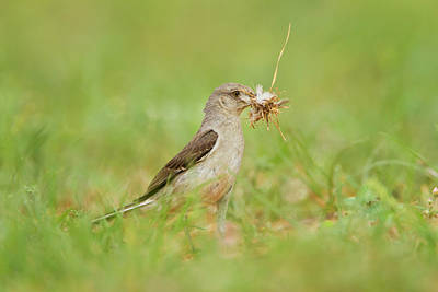 Gathering Photograph - Northern Mockingbird (mimus Polyglottos by Larry Ditto
