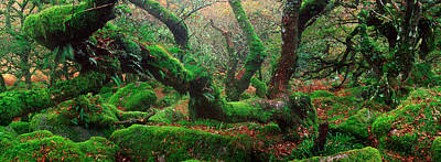 Oak Trees In A Forest, Wistmans Wood Print by Panoramic Images