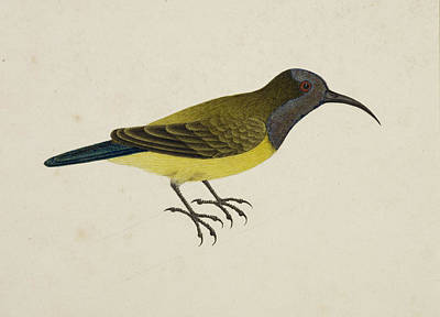 Categories Photograph - Olive-backed Sunbird by British Library