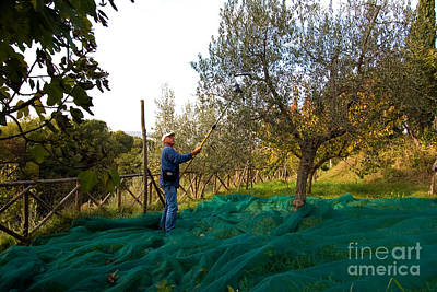 Olea Europaea Photograph - Olive Harvest, Italy by Tim Holt