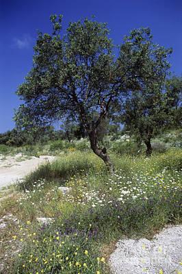 Olea Europaea Photograph - Olive Tree Olea Europaea by Martyn F. Chillmaid