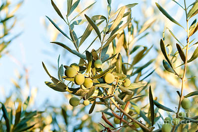 Olives On Its Tree Branch  Print by Leyla Ismet
