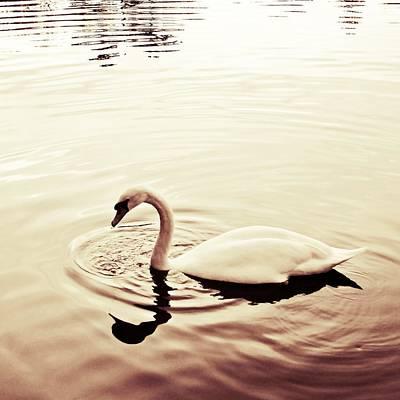 Swan Photograph - On Golden Pond by Sharon Lisa Clarke