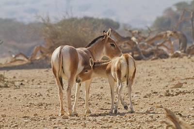 Onager (equus Hemionus) Print by Photostock-israel