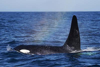 Photograph - Orca Surfacing Hokkaido Japan by Hiroya Minakuchi