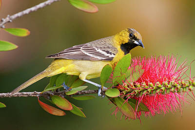 Ditto Photograph - Orchard Oriole (icterius Spurius by Larry Ditto
