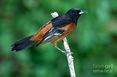 Wild Orchards Photograph - Orchard Oriole Icterus Spurius Adult by Anthony Mercieca