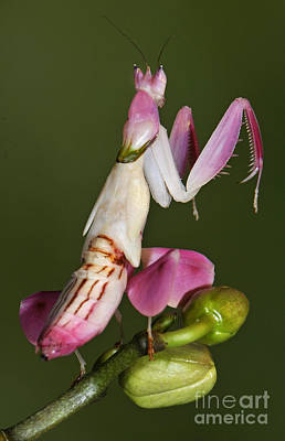 Orchid Mantis Print by Francesco Tomasinelli