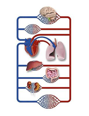 Liver Photograph - Organs And Blood Circulation by Mikkel Juul Jensen