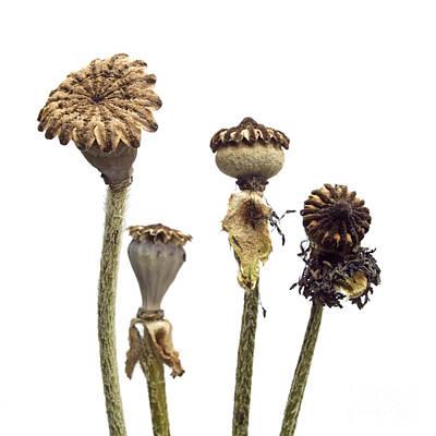 Dried Photograph - Oriental Poppy by Bernard Jaubert