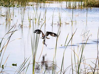 Osprey Photograph - Osprey Caught A Fish  by Zina Stromberg