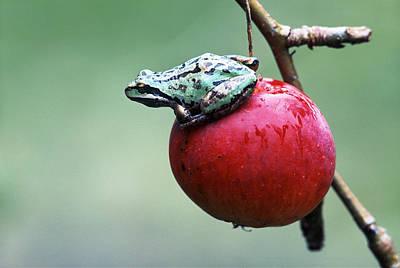 Pacific Tree Frog On A Crab Apple Print by David Nunuk