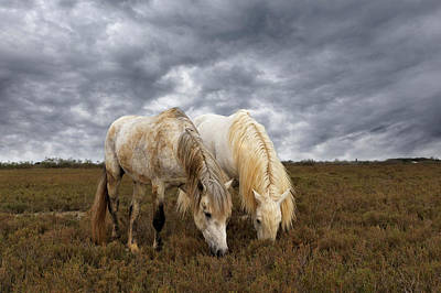 Adam Photograph - Pair Of Camargue Horse Stallions by Adam Jones