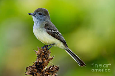Flycatcher Photograph - Pale-edged Flycatcher by Anthony Mercieca