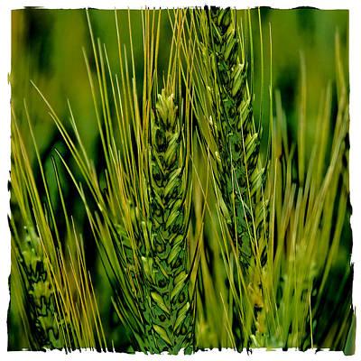 Palouse Wheat Iv Print by David Patterson
