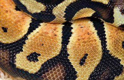 Pastel Royal Python Print by Nigel Downer