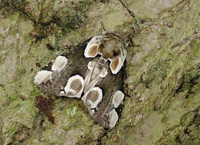 Striking Photograph - Peach Blossom Moth by Nigel Downer