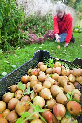 Pears Being Harvested To Make Perry Print by Ashley Cooper
