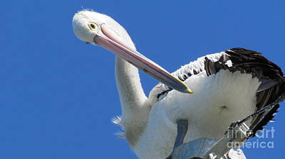 Photograph - Pelican by Joyce Woodhouse