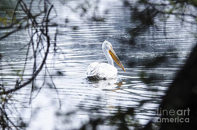 Nature Photograph - Pelican by Pravine Chester