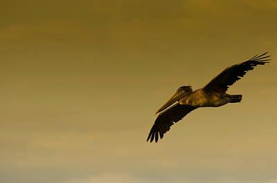 Bird Photograph - Pelican by Sebastian Musial