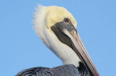 Pelican Up Close  Print by Paulette Thomas