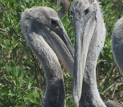 Bird Photograph - Pelicans Of Beacon Island by Cathy Lindsey