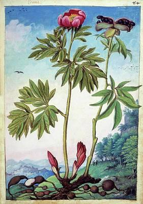 Peony (paeonia Mascula) Print by British Library
