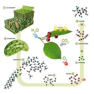 Photosynthesis Print by Carlos Clarivan