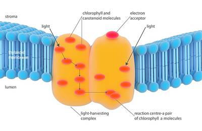 Photosynthesis Light-harvesting Complex Print by Science Photo Library