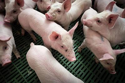 Piglets Print by Aberration Films Ltd