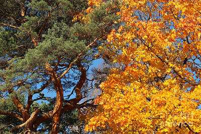 Autumn Photograph - Pine Tree And Maple Tree In The Autumn by Kerstin Ivarsson