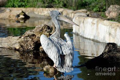 Pelican Photograph - Pink Backed Pelican by George Atsametakis