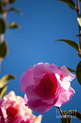 Outdoor Photograph - Pink Camellia Blossom by Mandy Judson