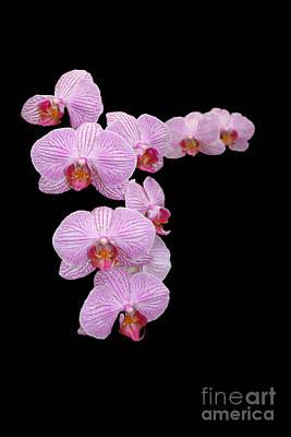 Pink Orchids Print by Tom Prendergast