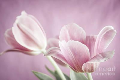 Pink Tulips Print by Elena Elisseeva