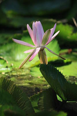 Pink Water Lilly Original by Mandy Shupp