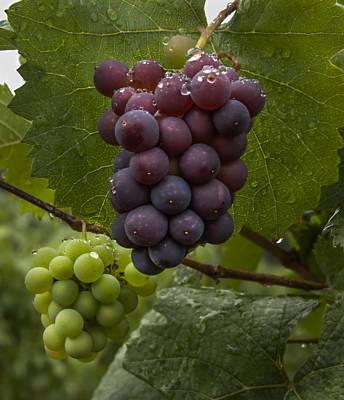 Pinot Noir Grapes Print by Jean Noren