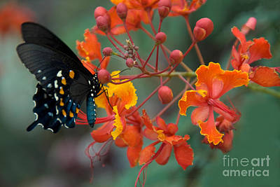 Battus Photograph - Pipevine Swallowtail Butterfly by Richard and Ellen Thane