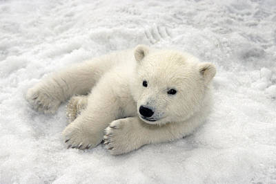Polar Bear Cub Playing In Snow Alaska Print by Mark Newman