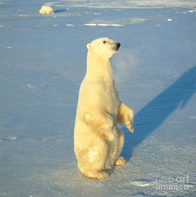 Bear Photograph - Polar Bear by Hans Reinhard