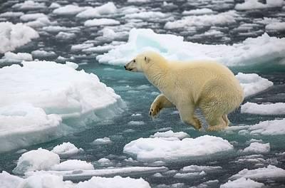 Polar Bear Jumping Across Ice Floes Print by Peter J. Raymond