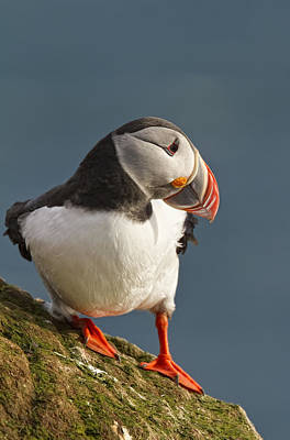 Looking Away From Camera Photograph - Portrait Of A Colorful Puffin Iceland by Robert Postma